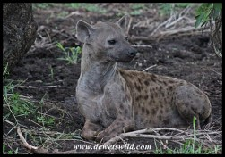 Spotted hyena mother