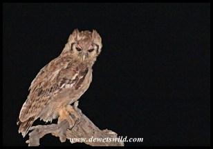 Verreaux's Eagle Owl