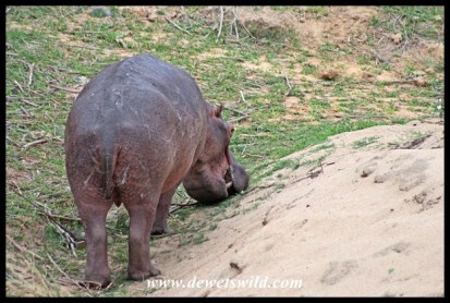 Hippo on the bank of the Sabie