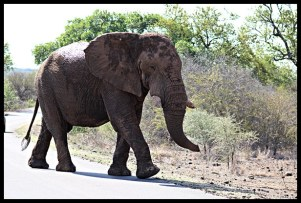 Another old timer at Olifants