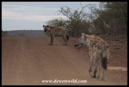 Hyenas always seem to be on the way to somewhere...