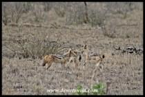 Playful jackal pups