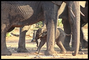 This little elephant was probably less than a day old and very unsteady on his feet