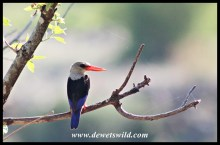 Another Grey-headed Kingfisher