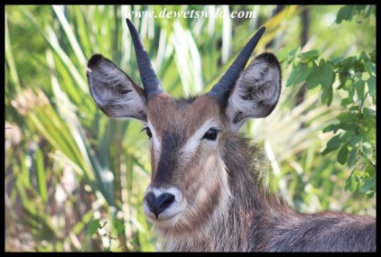 Waterbuck youngster