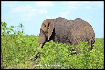 Another beautiful tusker