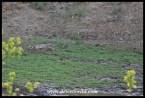 Leopard lying in wait at a waterhole