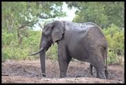 Elephant enjoying a mud bath