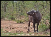 Buffalo catching a smell on the breeze