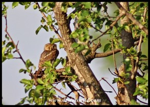 Pearl-spotted Owlet at Mlondozi
