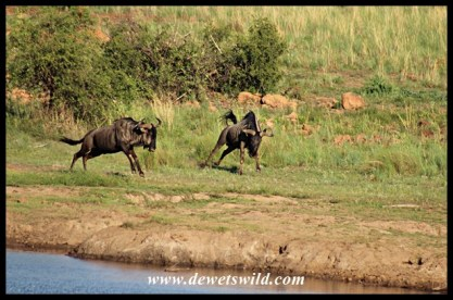 Blue wildebeests on the run