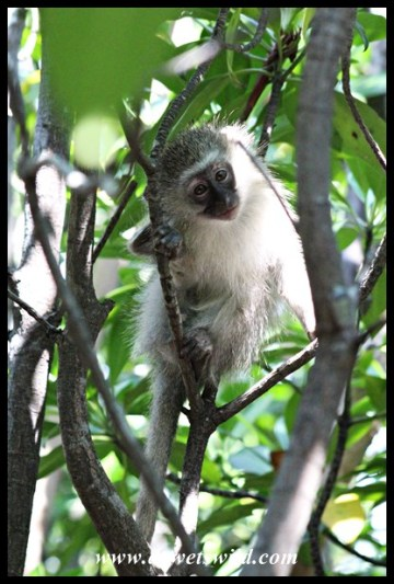 Vervet Monkey in a mangrove tree