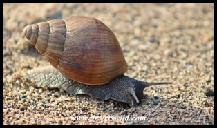 Giant land snail