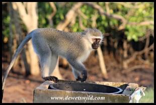 Vervet monkeys raid picnic sites next to the river