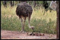 Ostrich at home in Bontle, Marakele NP