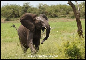 Excited young elephant