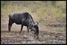 Blue wildebeest drinking from Bollonoto