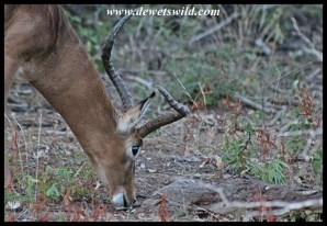 This impala with a malformed right horn is a regular at Bollonoto