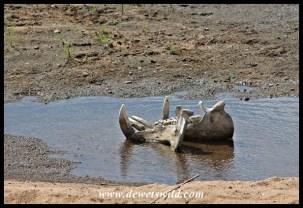 Hippo jaw on a Sabie sandbank