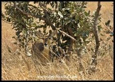 Reedbuck are often seen between Lower Sabie and Tshokwane