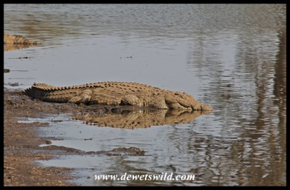 This crocodile may seem fast asleep, but if anything ventures into the water he'll be quick to react.