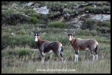 Blesbok youngster with adult female