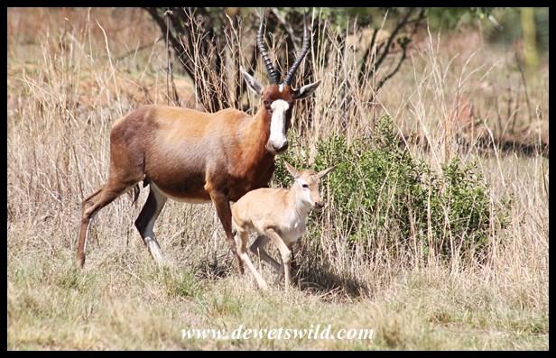 Blesbok ewe and lamb