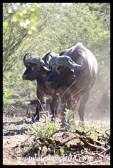 Marching buffalo bulls
