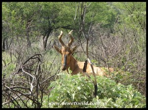 Red Hartbeest in thornveld at Suikerbosrand Nature Reserve