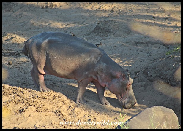 Hard to see hippos looking so thin