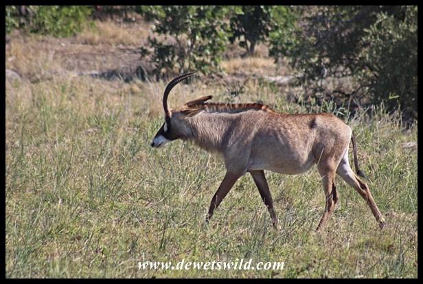 Roan Antelope Cow near Mopani in Kruger Park
