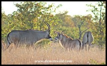 Roan Antelope Cow and Calf along the Nshawu marsh in Kruger