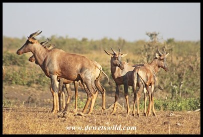 Tinhongonyeni is a reliable spot to find Tsessebe
