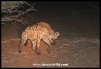 Spotted Hyena on Satara Night Drive