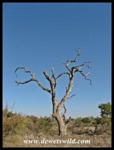 Gnarled Leadwood stump