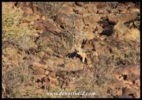 Black-backed jackal scaling a rocky outcrop