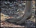 Ostrich foot