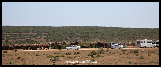 Enormous aggregation of elephants at Hapoor
