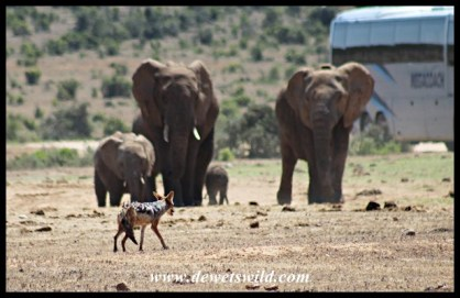 Jackal facing up to an elephant family at Hapoor