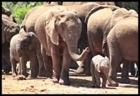 Elephant family at Lismore waterhole