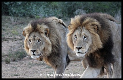 Kings of Addo, seen near Addo's new Nyathi Camp
