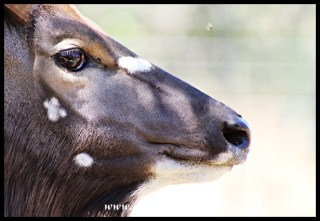 Habituated antelope, like this nyala bull, roam freely through the bush at OuKlip