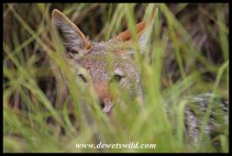 Black-backed Jackal trying to hide from the camera
