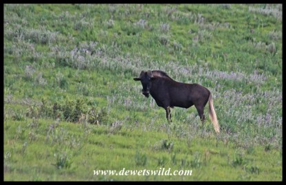 Territorial Black Wildebeest bull that's lost the tips of both his horns in fights!