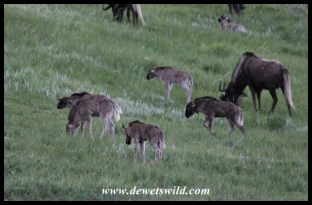 Black wildebeest calves