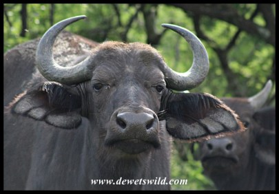 Buffaloes always look ready for a fight!