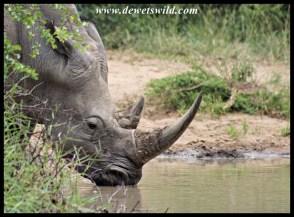 White Rhino drinking