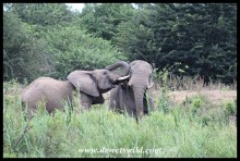 Elephant antics at the Umfolozi Bridge