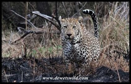 Leopard on the Maroela Loop, near Skukuza in the Kruger Park