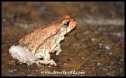 Toad at the Waterfall Safari Lodge